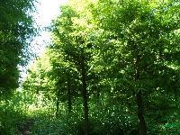 大叶女贞、乌桕、北美落羽杉、榉树、池杉、红叶石楠球