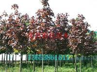禾昌红国王挪威槭景观\岑溪国王枫价格|红国王挪威槭规格