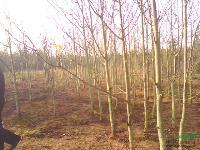 江西银鹊树