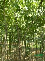 银鹊树2最新价格/银鹊树2报价
