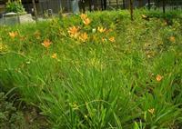 眼子菜、金鱼藻、星光草、海寿花、睡莲、三白草红花石蒜、矮蒲苇
