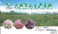 速生红花紫薇