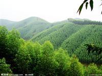 桉树:米径3-20公分地苗,20-1米种苗,袋苗