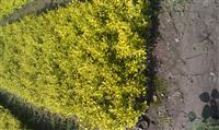 常州小苗批发供应,金焰绣线菊,连翘(黄金条),迎春,铺地柏等