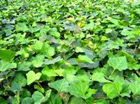 常州苗圃供应迎春、爬山虎、常春藤、蔷薇、扶芳藤,云南黄馨等