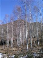 新供春季大苗:云杉、油松、樟子松、蒙古栎、白桦、花楸、五角枫