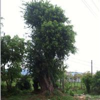 榕树、香樟、沙朴、青冈栎、罗汉松、红花继木、香泡等各类花木