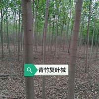 青竹复叶槭    复叶槭