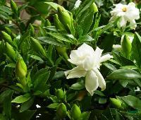 工程花木价格:三色堇,石竹,四季海棠,山樱花,三倍体毛白杨