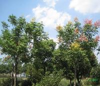工程花木价格:山核桃,石榴,深山含笑(全冠),实生栾树