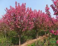 景观苗木价格:降桃,西府海棠,西湖垂柳,喜树(移栽),七叶树