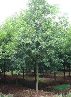 景观苗木价格:喜树(移植苗),香泡(全冠),香泡(移栽)香朴