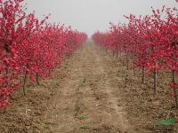 景观苗木价格:榆叶梅,羽毛枫,玉兰,玉簪,月桂球,云南黄馨