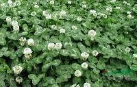 景观苗木价格:杨柳,洋槐,一串红,银叶菊,羽衣甘蓝,银边常春