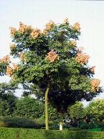 河南花木价格:移栽截杆香樟,移栽栾树,移栽木荷,移栽全冠栾树