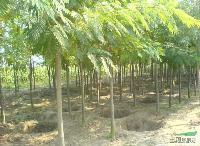 河南花木价格:移栽全冠无患子,移栽全冠香樟,移栽喜树,醉鱼草