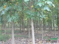 河南花木价格:硬叶丹桂,油松,柚子树,榆树(造型)元宝枫