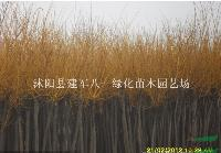 江苏金枝国槐价格/金叶国槐图片