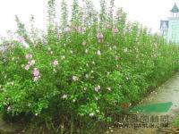 花灌木专供水蜡,连翘,绣线菊,木槿