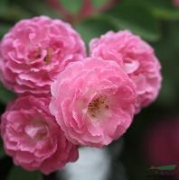 蔷薇 别名:野蔷薇、粉蔷薇、红蔷薇、多花蔷薇