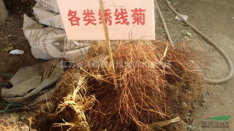 江苏金焰绣线菊批发 金焰绣线菊价格 日本绣线菊销售