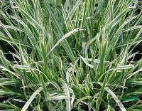 花叶燕麦草、燕麦草、玉带草、