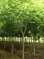 安徽重阳木、乌桕、广玉兰、白玉兰、水杉、大叶女贞、桂花
