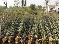 江蘇多分枝木槿 獨干木槿 木槿苗批發價格 圖片