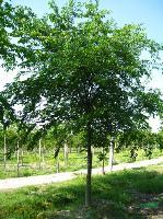 櫸樹圖片\櫸樹報價