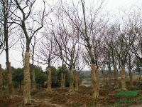 櫸樹1行情報價\櫸樹1圖片展示