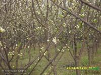 梨树1图片\梨树1报价