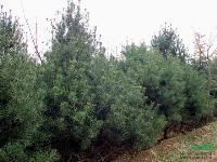 绿化苗木价格五针松,杉木,水杉,池杉树,落羽杉,柳杉,龙柏树