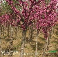 工程苗木价格紫荆,满条红,羊蹄甲,洋紫荆,凤凰木,黄槐树