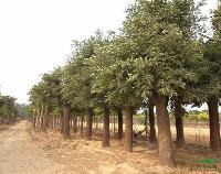 工程苗木价格合欢,国槐,刺桐,刺槐树,龙爪槐,红豆树