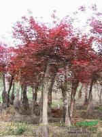 工程苗木价格元宝枫,红枫,黄连木,南酸枣,火炬树,黄栌