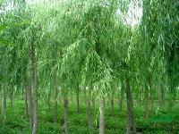 工程苗木报价灯台树,法国梧桐,枫香,毛白杨树,垂柳树