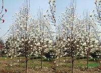 景观花木快乐赛车开奖龙爪柳,栓皮栎,白桦,枫杨,化香,榔榆树