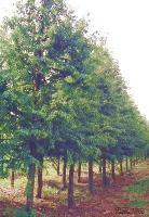 景观花木报价榉树,朴树,杜仲,青桐,梧桐,杜英,木棉