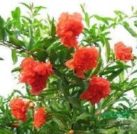 景观苗木价格含笑,蜡梅,香叶树,溲疏,山梅花,桃叶珊瑚