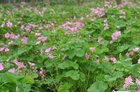 河南苗圃报价红花酢浆草,八月桂,葱兰,寿星桃,美人蕉
