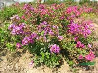 綠化苗木價格:凹葉景天,矮海棠,矮紫薇,白蠟,桉樹,矮化竹