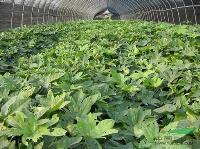 绿化苗木价格:半夏,半支莲,白鹤芋,八角金盘,八仙花,芭蕉