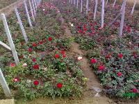 绿化苗木价格:百子莲,百日草,报春花,波斯菊,半冠移植香樟