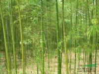绿化苗木价格:白晶菊,碧玉间黄金竹,佛肚竹,斑竹,笔秆竹