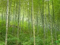 绿化苗木价格:碧玉间黄金竹,佛肚竹,槟榔,常绿萱草,常夏石竹