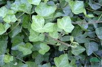 绿化苗木报价:翠菊,重瓣矮牵牛,常春藤侧柏,常春藤(京8号)