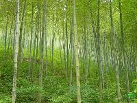 绿化苗木报价:慈竹,丛竹,翠竹,茶杆竹,刺葵,大花萱草,杜鹃