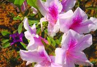绿化苗木报价:春杜鹃,刺柏球,重瓣茶花,彩叶草,长春花,雏菊