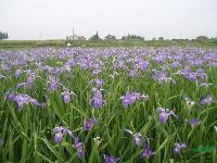 绿化苗木报价:大吴风草,德国鸢尾,灯笼草,灯心草,地被石竹