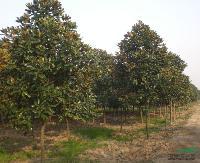工程苗木价格:桂竹,移植广玉兰,高接红枫,柑桔,高杆椤木石楠